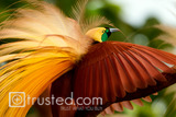 BIRD OF PARADISE, INDONESIA, 2010 image