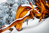 Snow Covers Antiguity: Ancient Bristlecone Pine image
