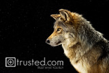 Endangered Mexican Gray Wolf image