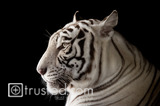 Endangered White Bengal Tiger image