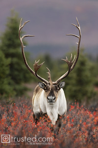 A caribou bull stands among bright autumn vegetation in Denali National Park.