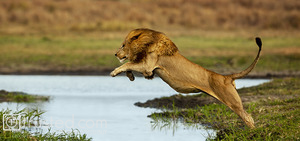A male lion leaps over a water channel on Duba Island.