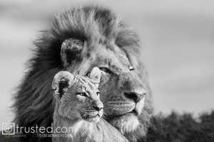 A lion peers into the horizon with his young male cub.